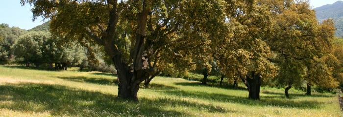 Пробковые дубы, пробковые деревья, пробка