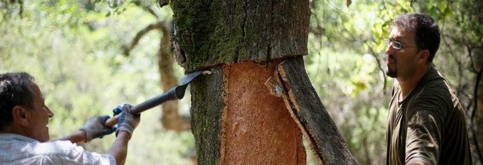 Снятие коры с дерева